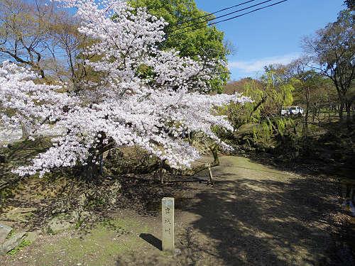 東大寺・奈良公園の桜(2015年)-13