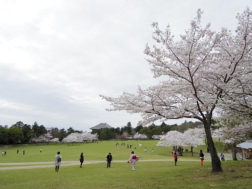 東大寺・奈良公園周辺の桜を観てきました(2015年版)