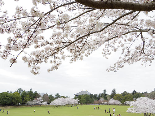 東大寺・奈良公園の桜(2015年)-18