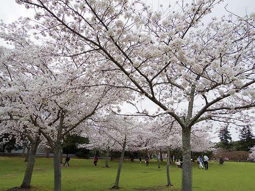 東大寺・奈良公園の桜(2015年)-19
