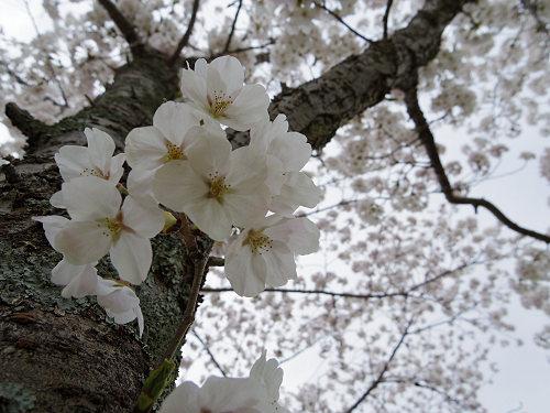 東大寺・奈良公園の桜(2015年)-20