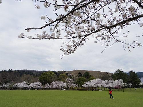 東大寺・奈良公園の桜(2015年)-21