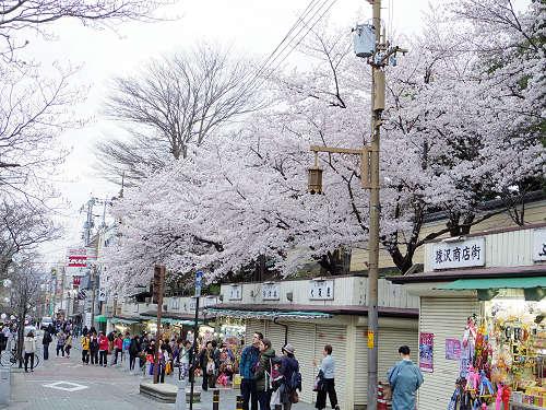 東大寺・奈良公園の桜(2015年)-23