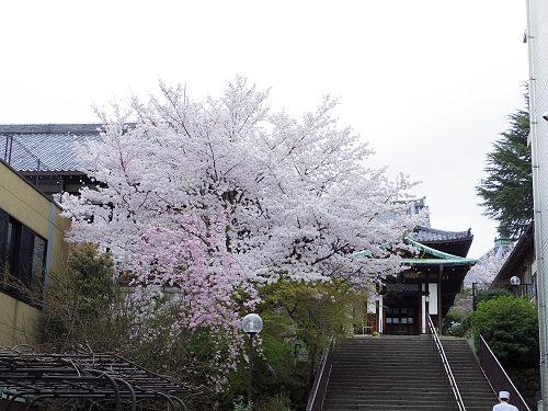 東大寺・奈良公園の桜(2015年)-24