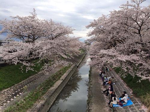約1,200本の桜並木!『高田の千本桜』@大和高田市