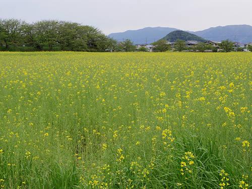 菜の花@藤原宮跡(橿原市)-04