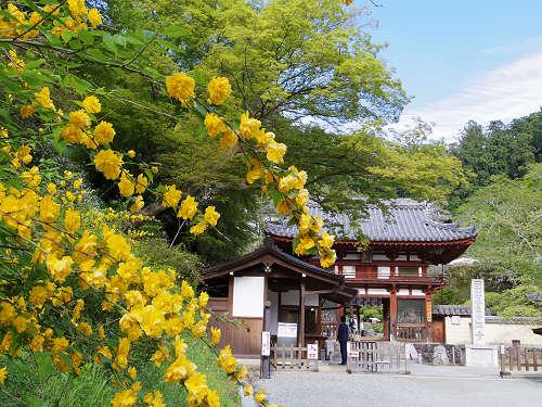 石楠花・牡丹・シャガ・山吹!『岡寺』でお花を愛でました