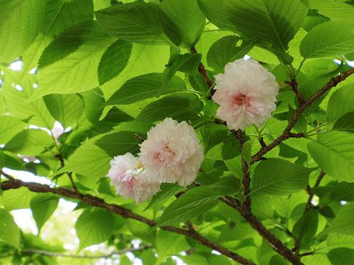 春の花々@岡寺(明日香村)-28