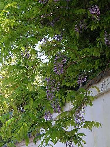 奈良で見かけた藤の花@奈良県知事公舎-13