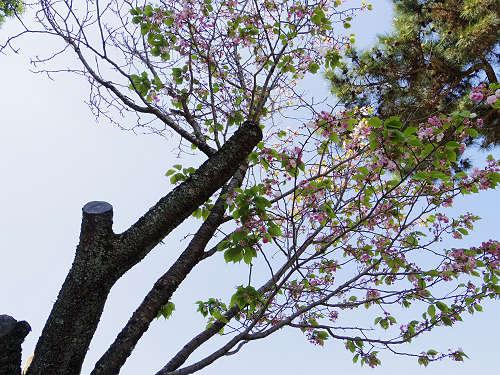 ナラノヤエザクラを探して@奈良公園周辺-03