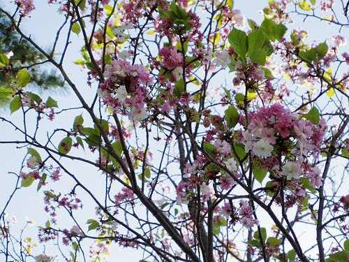 ナラノヤエザクラを探して@奈良公園周辺-05