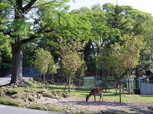 ナラノヤエザクラを探して@奈良公園周辺-06