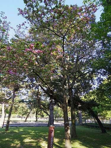 ナラノヤエザクラを探して@奈良公園周辺-19