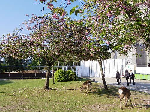 ナラノヤエザクラを探して@奈良公園周辺-22