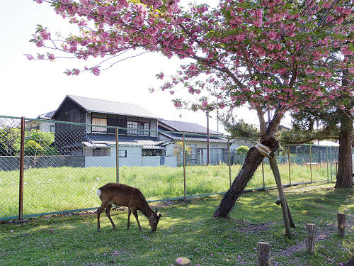 ナラノヤエザクラを探して@奈良公園周辺-24