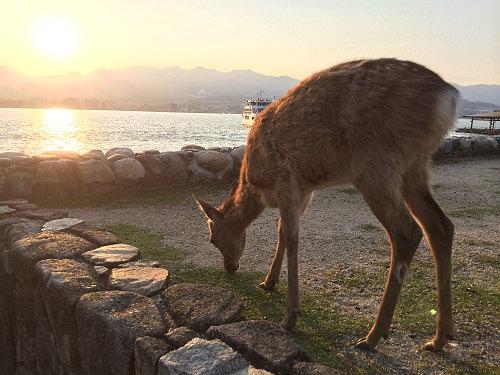 餌やり禁止!?宮島の鹿と人間の共存の難しさ@広島県宮島