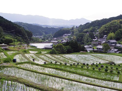 日差しがきらめく、初夏の美しい棚田の風景@明日香村