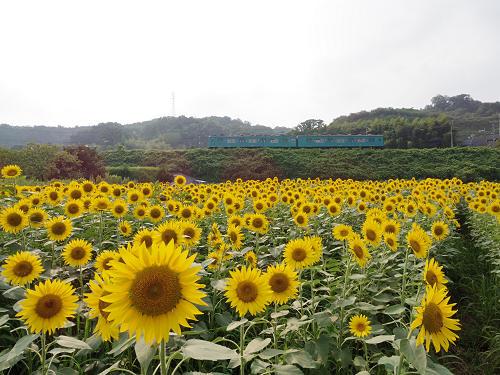 休耕地に8万本!迫力のひまわり畑『五條市上野町ひまわり園』