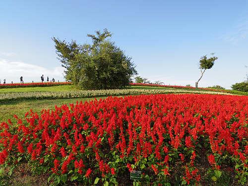 20万株の秋の花々!『第5回 馬見フラワーフェスタ』@馬見丘陵公園