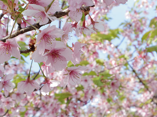 ピンク色が美しい、終わりかけの『河津桜』@佐保川(奈良市)