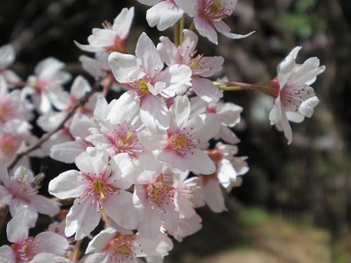 淡いピンクの早咲きの桜『啓翁桜』が満開! @馬見丘陵公園