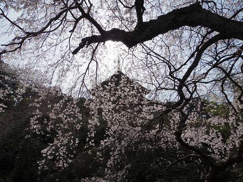 頭上いっぱいに広がる樹齢300年の『しだれ桜』@當麻寺護念院