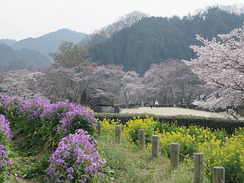 咲き始めの桜と菜の花。のどかな春の『石舞台古墳』@明日香村