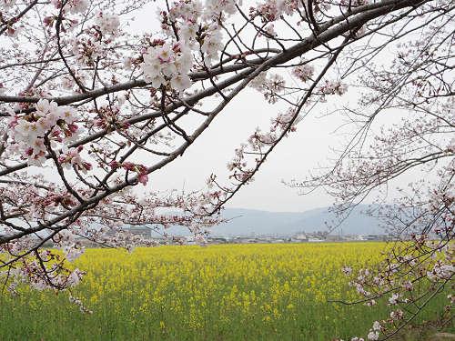 250万本の菜の花+咲きかけの桜『藤原宮跡』@橿原市