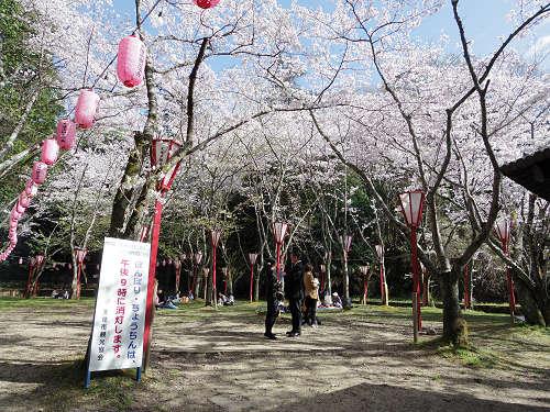 約600本の桜。お花見最適スポット『石上神宮外苑公園』@天理市