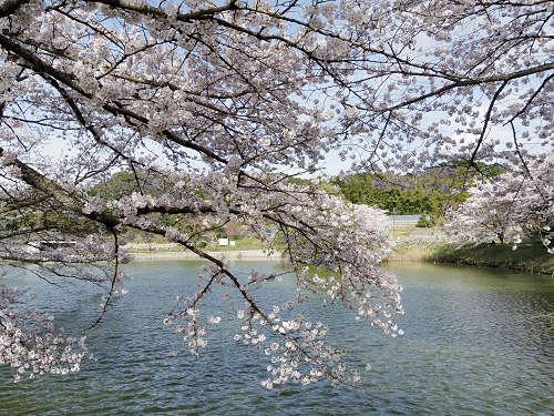 幻の大寺院跡に咲く美しい桜『内山永久寺跡』@天理市