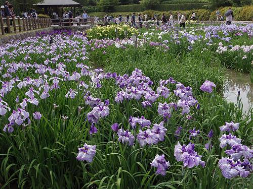 3万本の花しょうぶ!『馬見花菖蒲まつり』@馬見丘陵公園