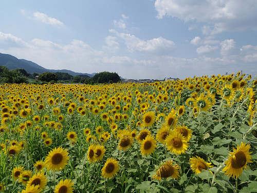 夏に咲き誇る『葛城山麓のひまわり畑』@葛城市山田