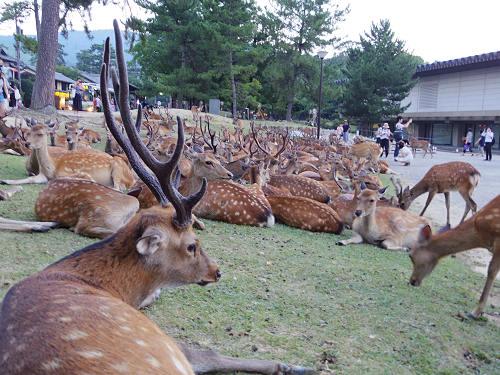 夏の鹿が密集する『鹿だまり』とは? @奈良公園