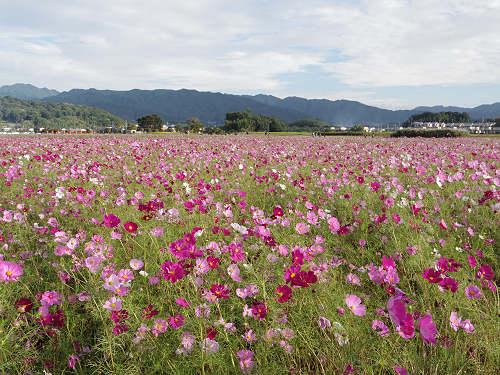 300万本ものコスモスが咲き誇る『藤原宮跡』@橿原市