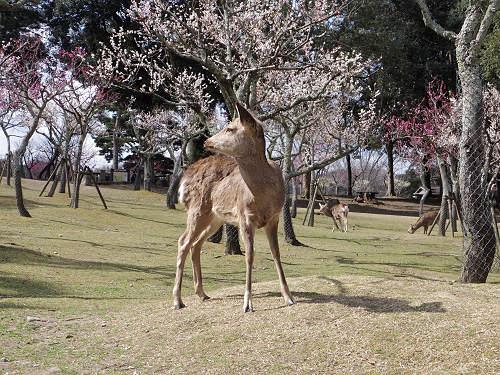 梅の木の間を歩く鹿たち『片岡梅林』@奈良公園