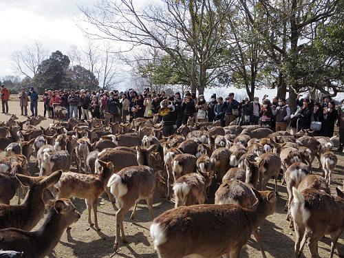 ホルンの音色で鹿たちが集まる『鹿寄せ』@奈良公園