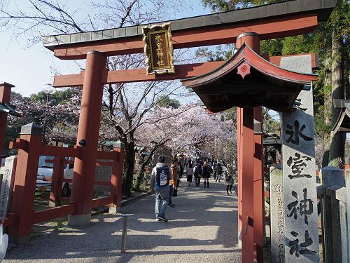 氷室神社『枝垂れ桜』2017年も見事に開花!(奈良市)
