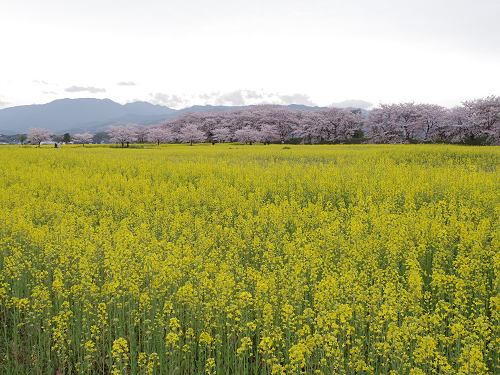 250万本の菜の花+満開の桜の共演 @藤原宮跡(橿原市)