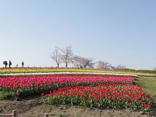 約50万本のチューリップと春の花!@馬見丘陵公園