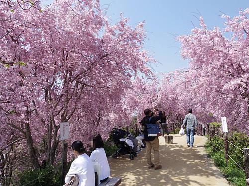 満開のしだれ桜!大神神社『大美和の杜展望台』@桜井市