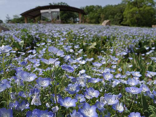 青く可憐な「ネモフィラ」が満開!@馬見丘陵公園