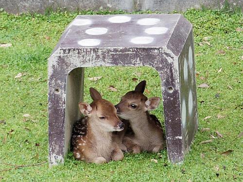 『子鹿公開 赤ちゃん鹿大集合!』@鹿苑(春日大社境内)