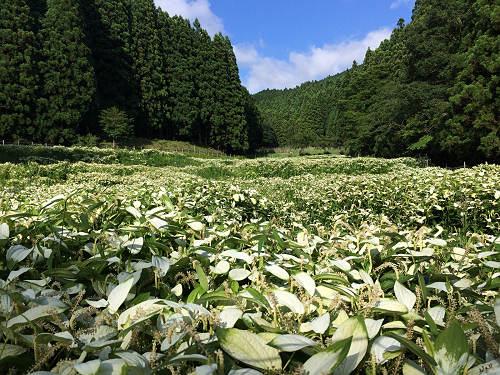 清浄な白い群生!『岡田の谷の半夏生園』@御杖村