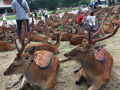 集合から解散まで『鹿だまり』観察 @奈良国立博物館前