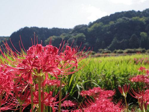 畦を埋める赤いヒガンバナ @葛城一言主神社(御所市)