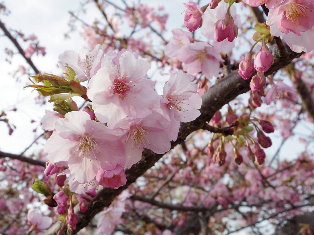 早咲きの桜『河津桜』の見頃が間近!@馬見丘陵公園&佐保川
