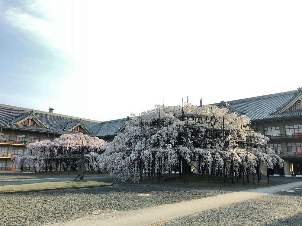 【桜】3本の『大しだれ桜』@天理教教会本部(天理市)
