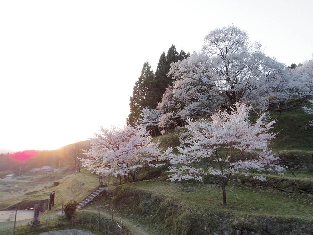 【桜】『佛隆寺の千年桜』もすでにほぼ満開!@宇陀市榛原
