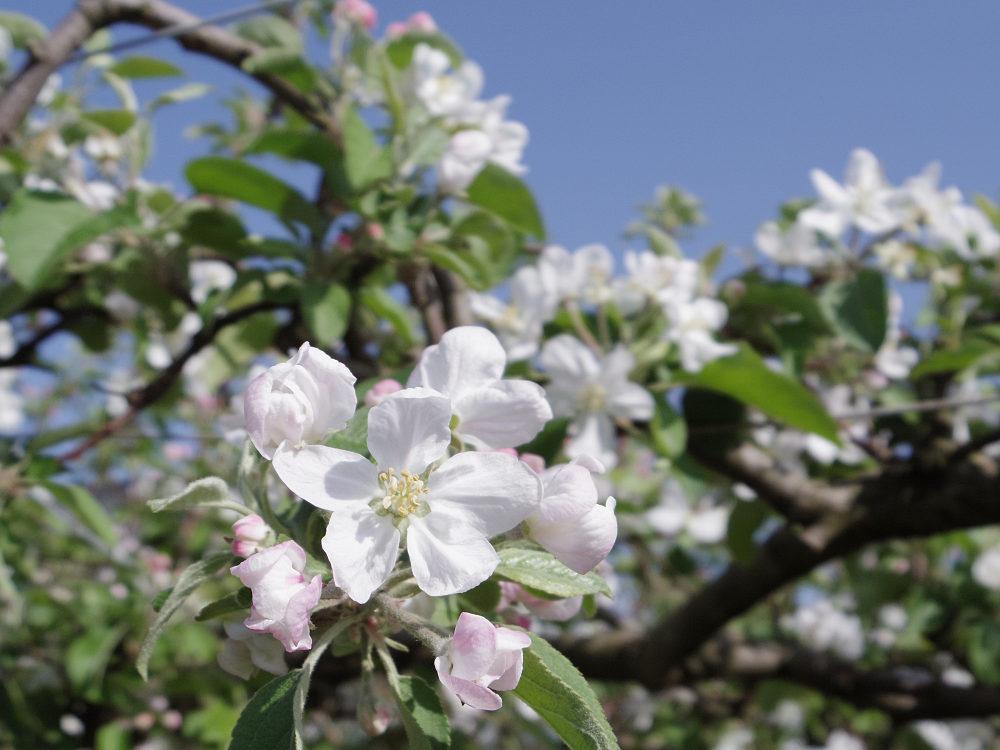 梨の名産地で『梨の花』を見てきました @大阿太高原(大淀町)