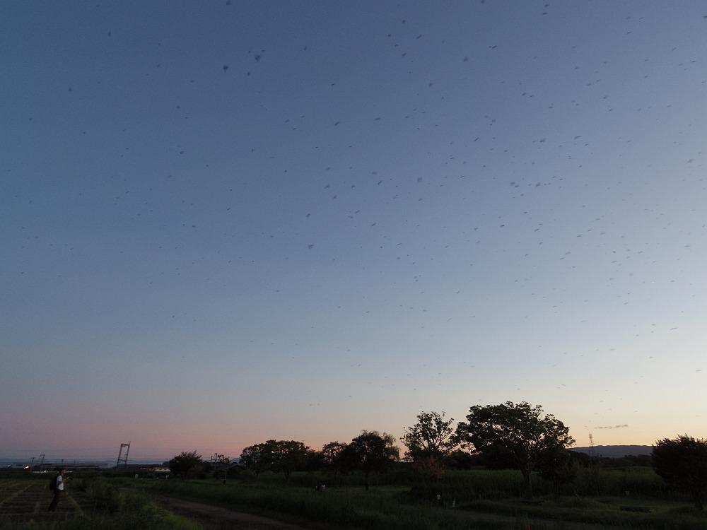 夕暮れ空に鳥・鳥・鳥!『ツバメのねぐら入り』@平城宮跡(奈良市)